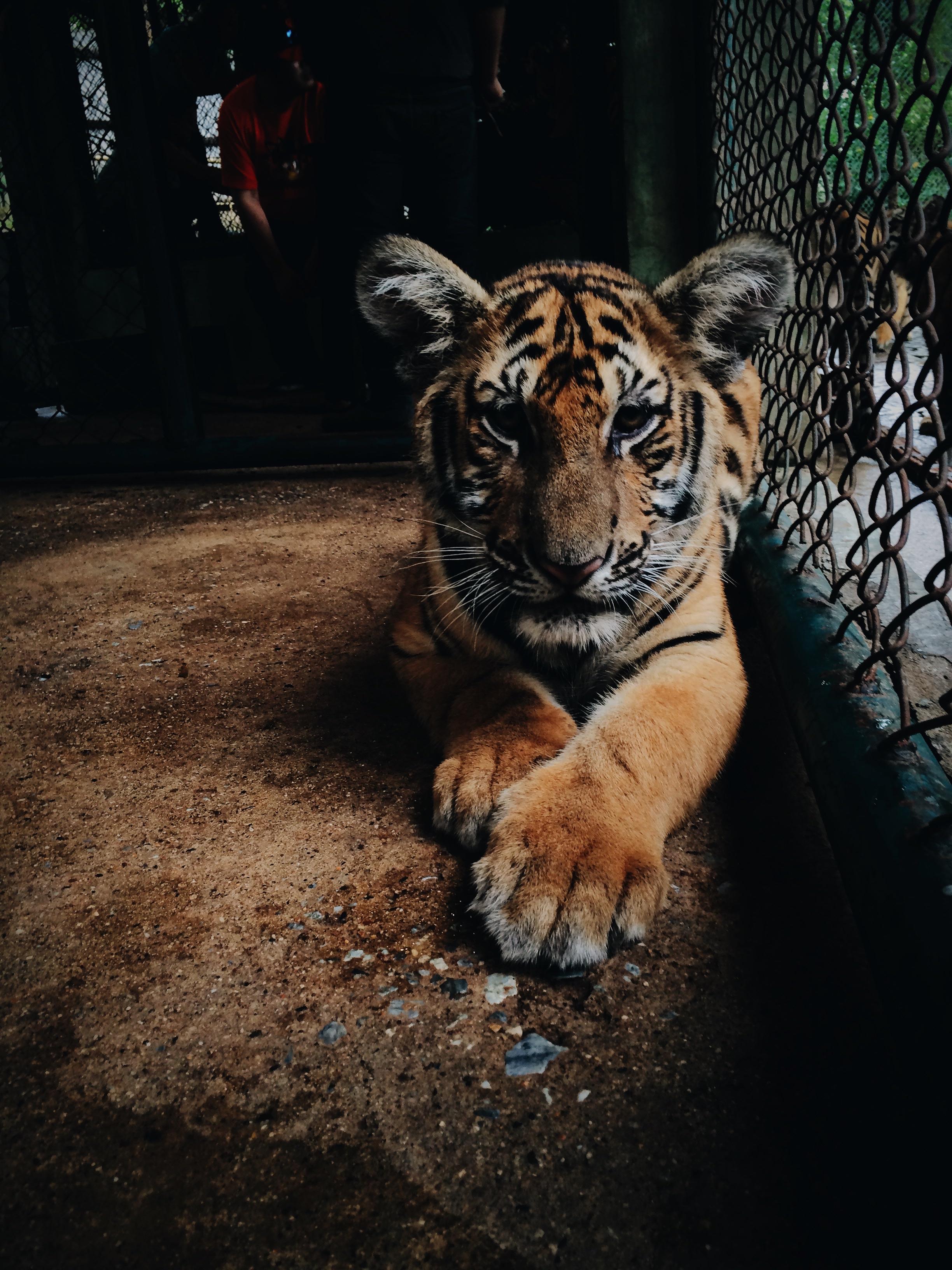 TIGER Photo by Paula Borowska